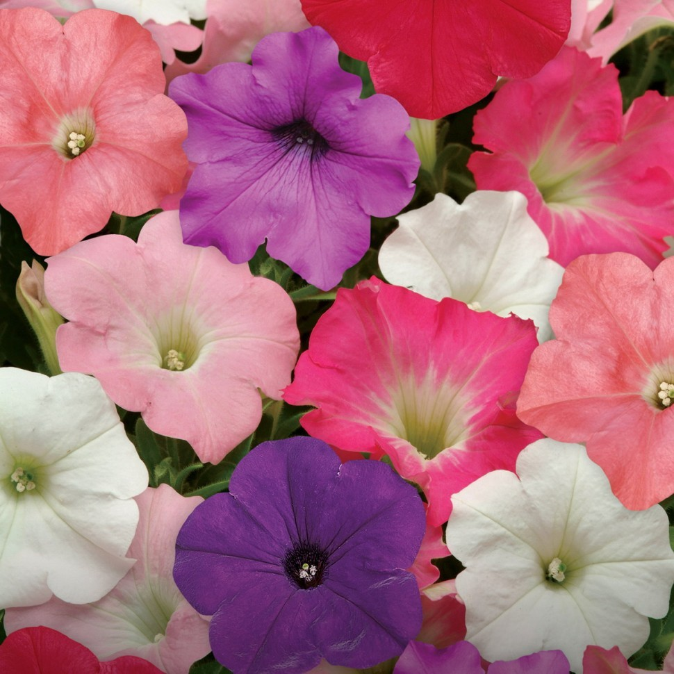 Цветы Семена цветов Петуния ампельная F1 Изи Вэйв Формула микс, PanAmerican Seed, 5 шт. PETUNIY-AMPELNAY-F1-IZI.jpg