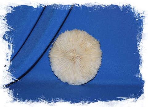 Грибовидный коралл Фунгия, Fungia