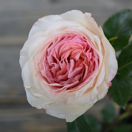 Купить букет пионовидных роз MAYRA'S BRIDAL PINK в Перми