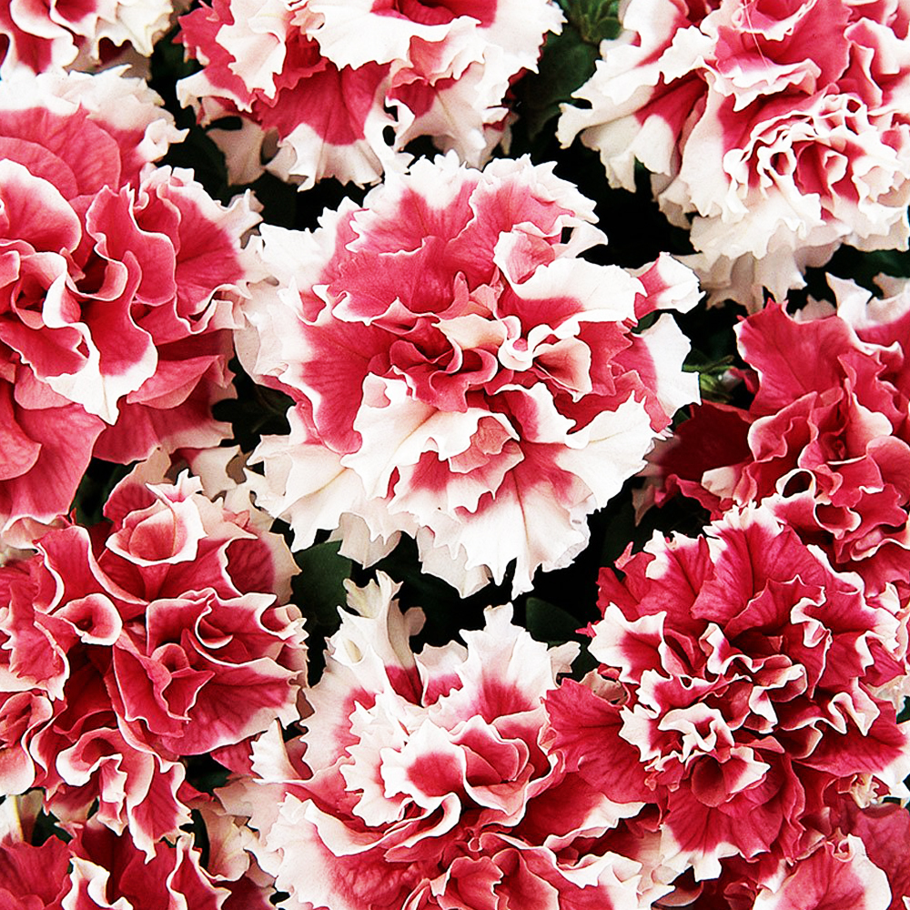 Цветы Семена цветов Петуния махровая Пируэтт Ред, PanAmerican Seed, 10 шт. PETUNIY-MAKROVAY-PIRUETT-RED.jpg