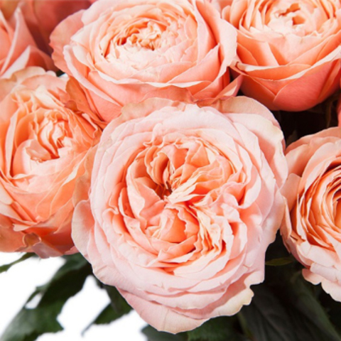 Розы пионовидные Kahala от 9шт