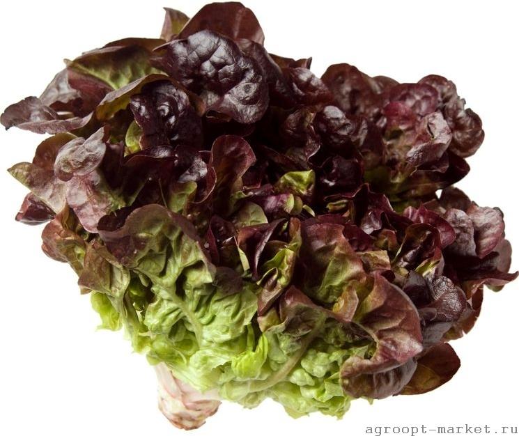 Enza Zaden Эзра семена салата изи лиф (Enza Zaden / Энза Заден) изи_лиф.jpg
