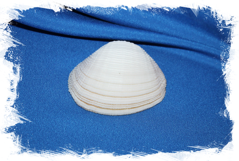 Люцина корзинка (Fimbria fimbriata), створка
