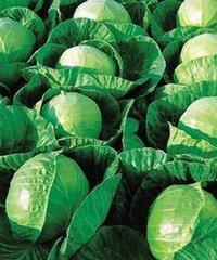 Гермес F1 семена капусты белокочанной (Seminis / Семинис)
