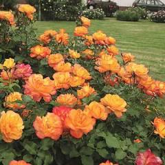 Роза плетистая Сахара