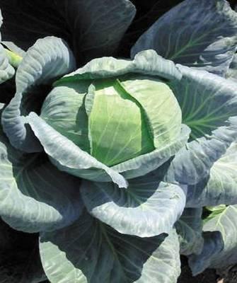 Белокочанная Ларсия F1 семена капусты белокочанной (Seminis / Семинис) Ларсия_F1__Larsia_.jpg