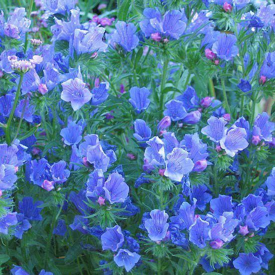 Синяк растение цветы