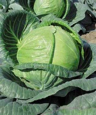 Белокочанная Тобия F1 семена капусты белокочанной (Seminis / Семинис) Тобия_F1__Tobia_.jpg