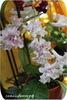 Стрептокарпус, DS-Нежно Розовый