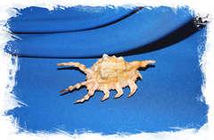 Ламбис скорпиус, Lambis scorpius