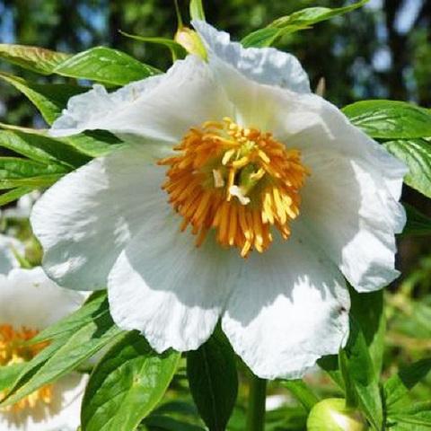 Пион Late Windflower