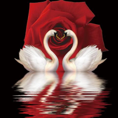 Картина раскраска по номерам 30x40 Два лебедя на фоне красной розы