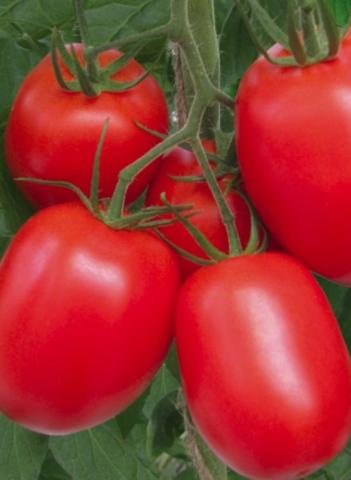 Семена Томат Рио Гранде оригинал, 1 гр