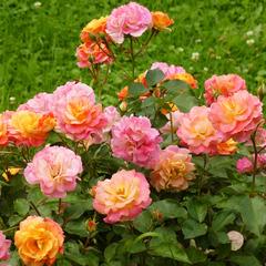 Роза миниатюрная Бордюр Камэю