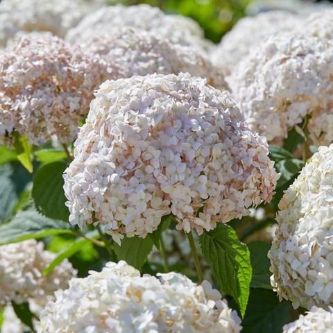 Гортензия древовидная Люкс_Hydrangea arborescens  Candybelle Marshmallow