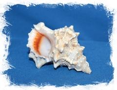 Морская ракушка Бурса Лиссостома 8 см