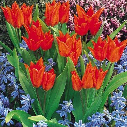 Тюльпан Многоцветковый