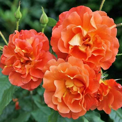 Роза Вестерленд Северный огород