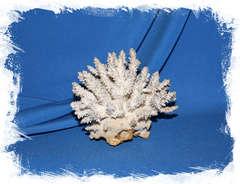 Коралл 11 см.