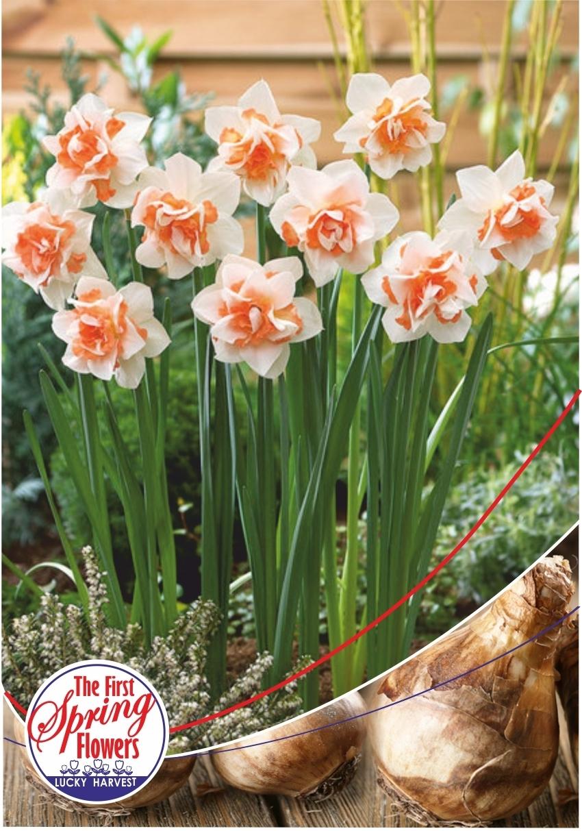 Луковицы Нарцисса махрового Replete  (Реплет) Jan de Wit en Zonen B.V. количество в упаковке 9 луковиц