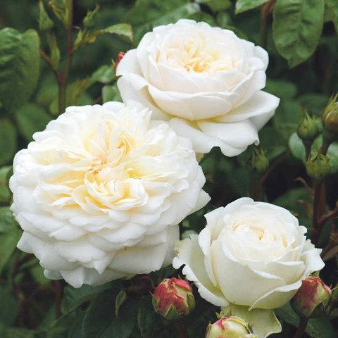 Купить Роза английская Транквилити