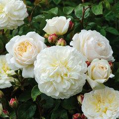 Роза английская Транквилити СевОгород
