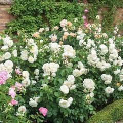Роза английская Tranquillity Северный огород