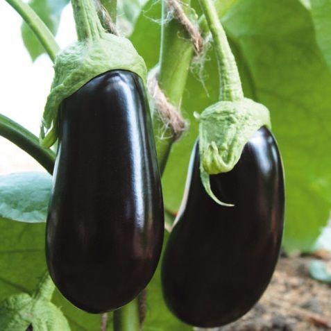 Баклажан Альмалик F1 семена баклажана (Гавриш) Альмалик_семена_овощей_оптом.jpg