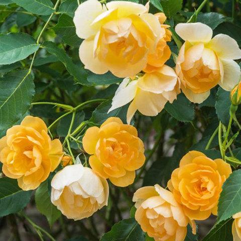 Купить Роза английская Баттеркап Buttercup