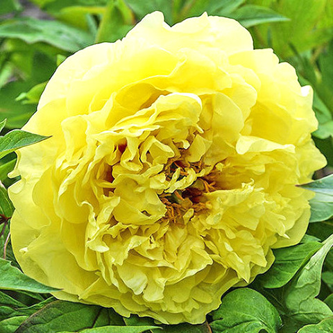 Пион Yellow Doodle Dandy