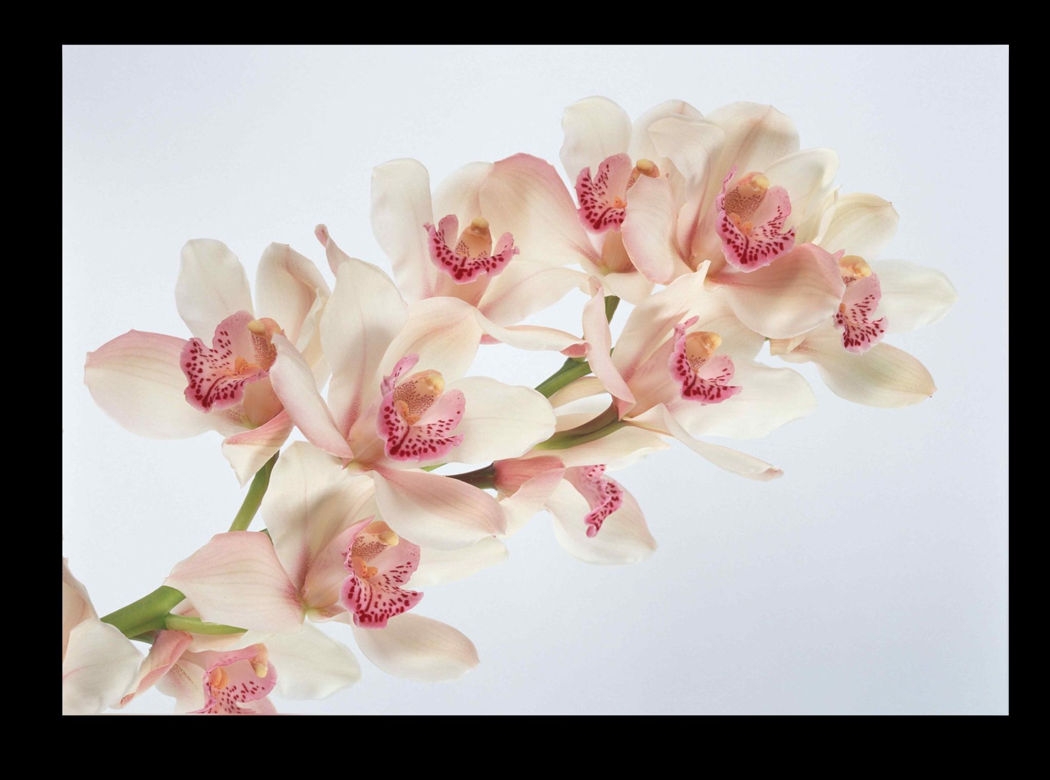 """Постеры Постер """"Белоснежная орхидея"""" п13.png"""