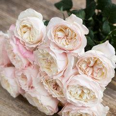 Роза английская Кейра