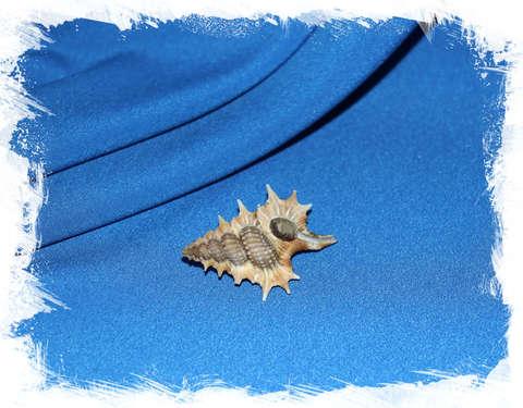 Биплекс акулеатум (Gyrineum aculeatum)