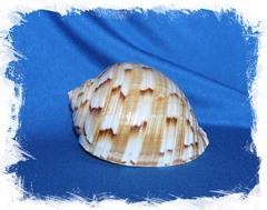 Морская раковина Китайская Тонна, Tonna chinensis
