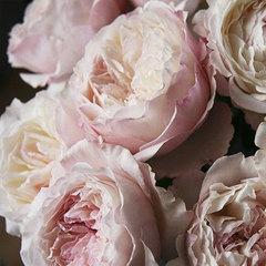 Роза английская Keira