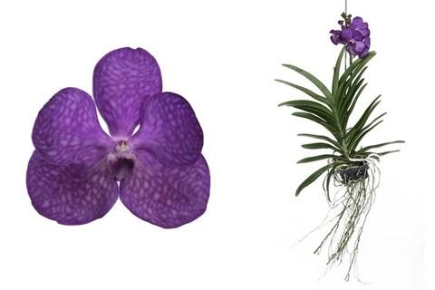 Ванда (Орхидея)
