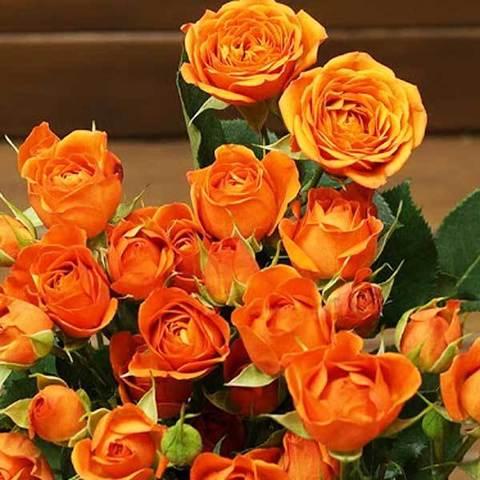 Роза спрей Бейб Babe купить