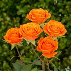 Роза спрей Бейб Babe