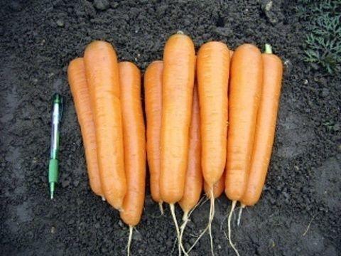 Нантский Аттилио F1 семена моркови нантской (Vilmorin / Вильморин) Аттилио_F1_семена_овощей_оптом.JPG