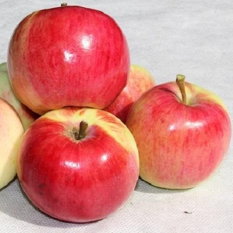 Яблоня летний сорт Кэрол