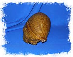 Стромбус Галеатус (Titanostrombus galeatus) 21 см.