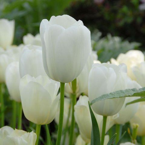 Тюльпан Простой поздний Маурин