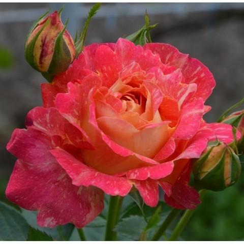 фотографию роза плетистая декор арлекин фото новый