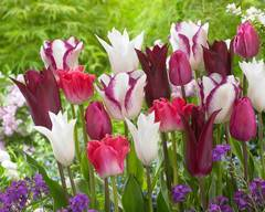 Тюльпан Лилиецветный Парпл Херт