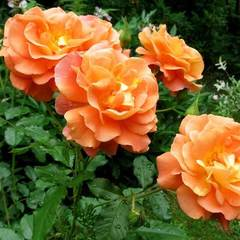 Роза Вестерленд Westerland Северный огород