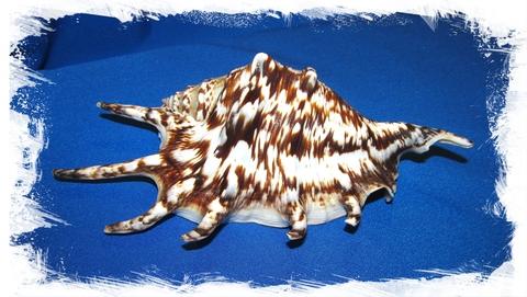 Ламбис Тигровый 13 - 17см
