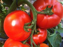 Белфорт F1 семена томата индетерминантного (Enza Zaden / Энза Заден)