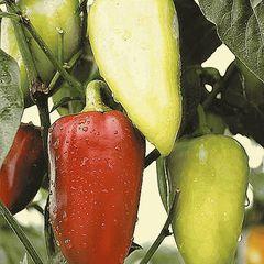 Амаретта F1 семена перца сладкого (Enza Zaden / Энза Заден)