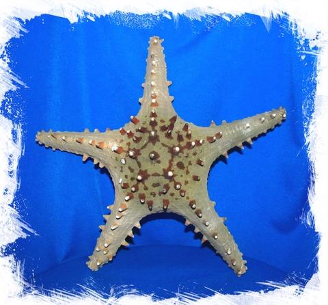Морская Звезда Тони 25-30см.