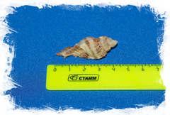 Ракушка Мурекс трикветер, Murex triqueter размер